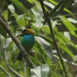 Gilt-edged Tanager Eco-lodge Itororó